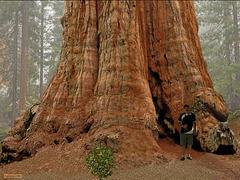 200506 Pierre USA California Redwood NP Giant Sequoia