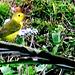 34 Protonotaria citrea (Prothonotary Warbler)