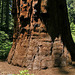 PICT2514ac 2 Elephant Foot Sequoia