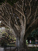 Dragon Tree / Drachenbaum (Dracaena draco) - HFF