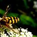 2 (24) a wasp