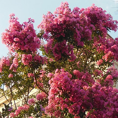 LAGERSTROEMIA (Lilas des Indes)