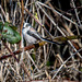 Long tailed tit2