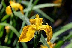 Sumpf-Schwertlilie - Iris pseudacorus