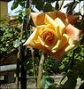 Rose in Madrid's Jardin del Principe de  Anglona