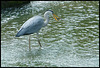 heron scoops a fish