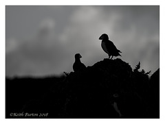 Puffin Silhouettes