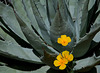 Mexican Poppies & Agave