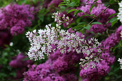 Lilacs in bloom (Explored)