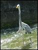 scraggy-necked heron