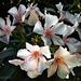 Blütenpracht Oleander