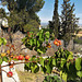 Apricot tree, Valderrey, Algete, Madrid.