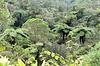 Forêt primaire de Bélouve. (974, Ile de la Réunion). 10 juillet 2021.