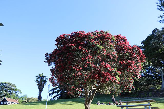 1T0A2599 Christmas tree (Pohutukawa)