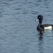 Tufty Duck