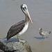 Lima, Playa Agua Dulce, Pelican and Seagull
