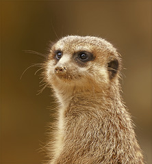 Meerkat Semiprofile