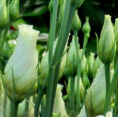 ROSE EN DEVENIR / ROSES TO OPEN