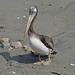 Lima, Playa Agua Dulce, Cute Pelican