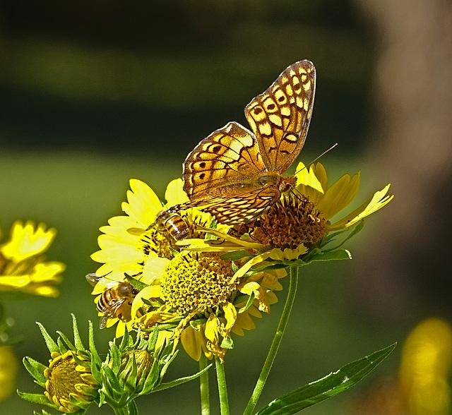 Variegated Fritillary (Euptoieta claudia) & 2 Honey Bees & a Cucumber Beetle