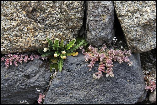 Asplenium ceterach et Sedum dasyphyllum