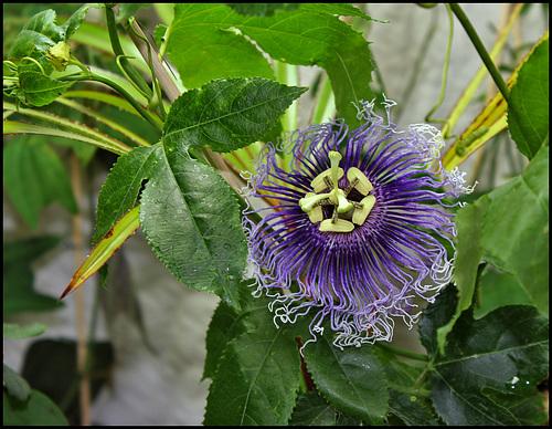 Passiflora Byron Beauty (1)