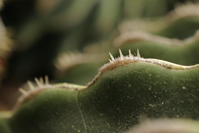 Echinicactus grusonii brevispina, Agressivity