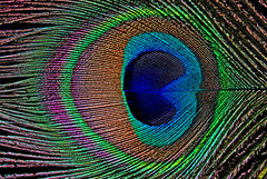 Pfauenfeder-Auge