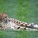 Gepard (Wilhelma)
