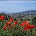 Sierra de La Cabrera, poppies