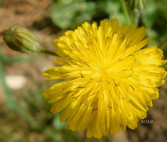 Fleur de pissenlit******************