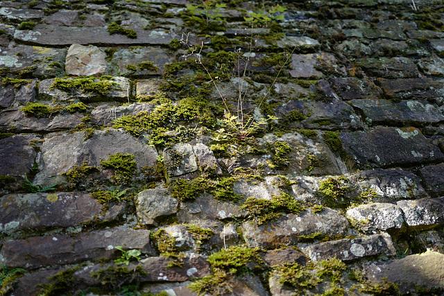 mur de la douve Est avec un brin d'herbe, Cerisy