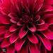 Heart of a Magenta Dahlia & Checking In!