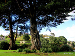 Raglan trees.