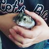 Un hamster bien gras