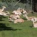 Persische Kropfgazellen (Zoo Karlsruhe)