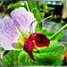 Blüte der Wicken / Erbsen ? ©UdoSm