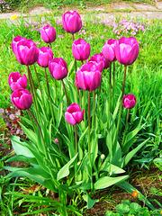 Tulip..