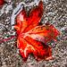 1 (22)...austria herbst autumn blätter leaf