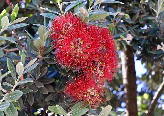 1T0A0436-Pohutukawa. Arbre endémique de Nouvelle Zélande
