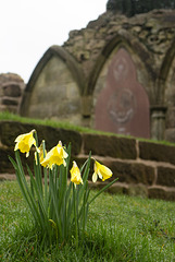 Daffodils at St Serf's Church
