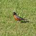 Robin - Wanderdrossel