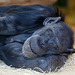 Schimpansin Katche (Zoo Karlsruhe)
