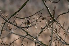 Tarier pâtre (saxicola rubicola) mâle un peu trop caché..
