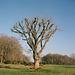 Yashica tree