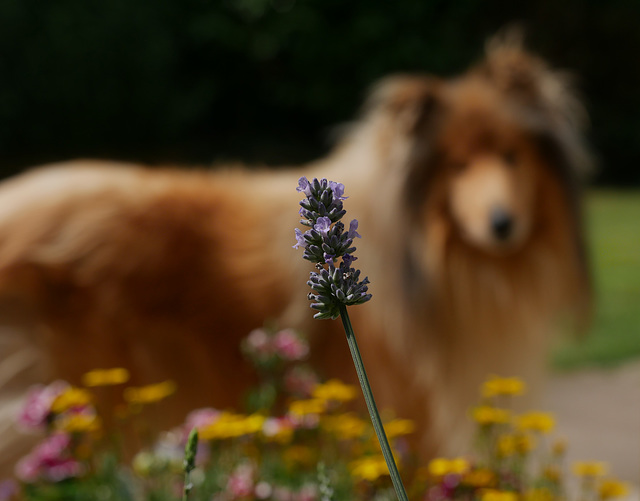 Collie Bokeh