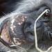 Schimpansenmann Benny (Zoo Karlsruhe)