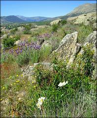 Lavender, cistus and granite