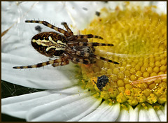 Spider on flower preparing food