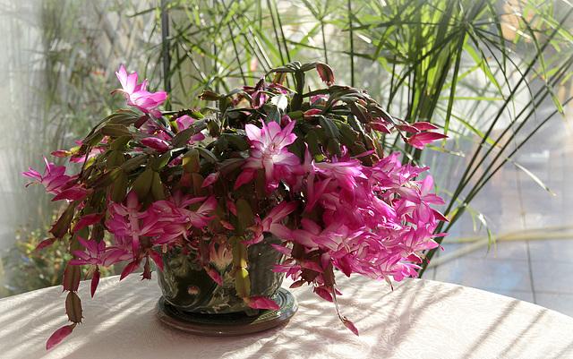 Schlumbergera - le genre - cactus de Noël - Page 7 45732070.25ca82b3.640
